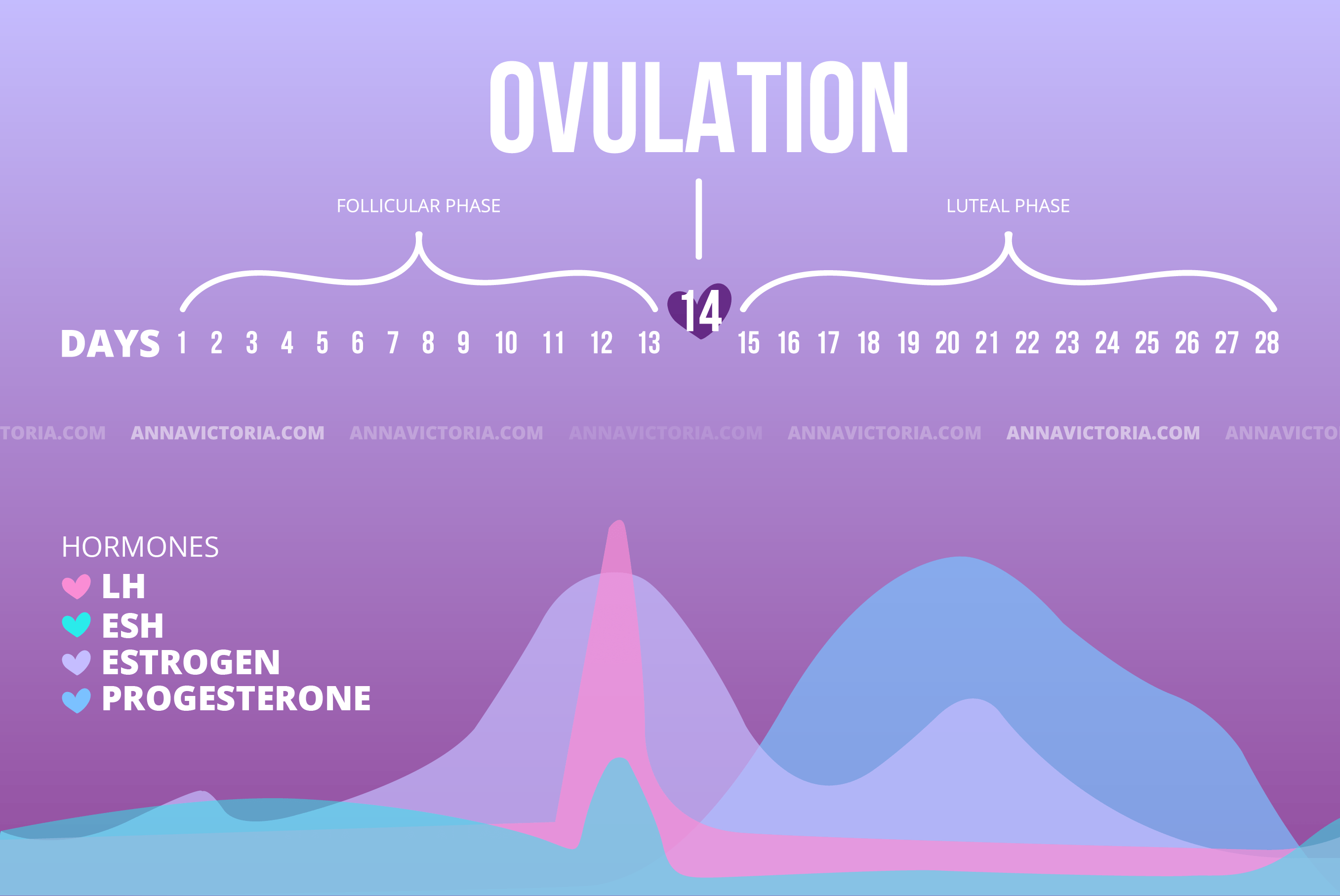 ovulation phases